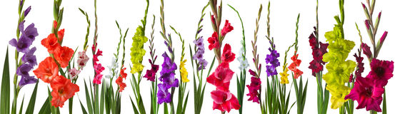 Colorful gladiola flowers. On white background Stock Photos