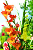 Colorful Gladiolas. Stalks of orange and yellow gladiolas in a natural outdoor setting Royalty Free Stock Photos