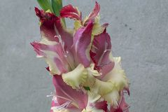 Colorful gladiolas in the sunshine. Colorful gladiolus in the sunshine in my garden at my home Stock Image