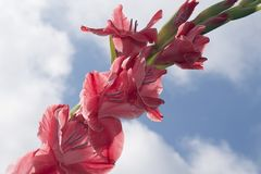 Colorful gladiolas in the sunshine. Colorful gladiolus in the sunshine in my garden at my home Stock Photo