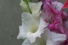 Colorful gladiolas in the sunshine. Colorful gladiolus in the sunshine in my garden at my home Stock Images