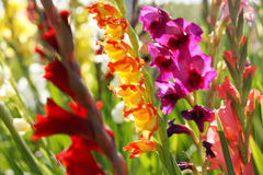 Colorful gladioli. Closeup of colorful blooming gladioli Stock Images