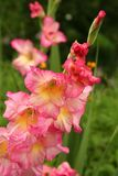 Colorful gladioli in full bloom. These multi-color gladiolus flowers put on an opulent display when summer is at full strength. Grown from bulbs or corms, they Stock Image