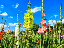 Colorful gladiolus flower field in midsummer Stock Photo
