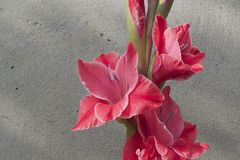 Colorful gladiolas in the sunshine. Colorful gladiolus in the sunshine in my garden at my home Royalty Free Stock Images