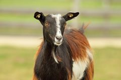 Colorful goat Royalty Free Stock Images