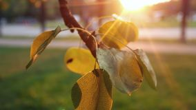 Colorful golden autumn leaves stock footage