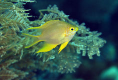 Colorful golden damselfish Stock Photo