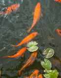 Colorful golden fish in a lake Stock Photo