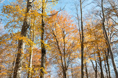 Colorful golden foliage of an autumn beech forest Stock Image