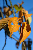 Colorful golden leaves in sunny weather with clear blue skies Stock Photos