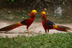 Colorful Golden Pheasant. 2 beautiful male Golden Pheasant staring at each other Stock Image