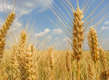 Colorful golden wheat field Stock Photography