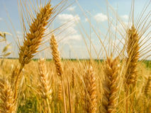 Colorful golden wheat field Stock Image