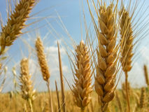Colorful golden wheat field Royalty Free Stock Images