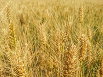 Colorful golden wheat field Stock Photos