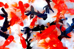 Colorful goldfish. A swarm of goldfish in the aqurium,reddish,brassy and black,ornamental fresh water fish Stock Images