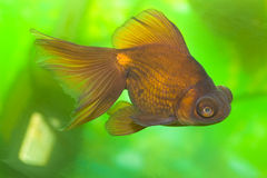 Colorful  goldfish Royalty Free Stock Images