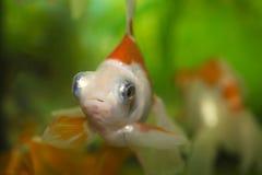 Colorful  goldfish Stock Photography