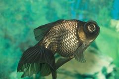 Colorful  goldfish Stock Image