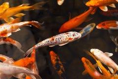 Colorful goldfish Japanese koi carp Royalty Free Stock Photography