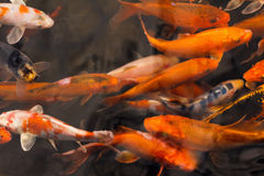 Colorful goldfish Japanese koi carp Stock Photos