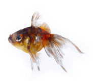 Colorful goldfish with long fins Royalty Free Stock Photography