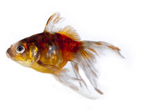 Colorful goldfish with long fins Royalty Free Stock Photo