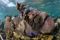 Colorful Gorgonians in Caribbean Sea Stock Image