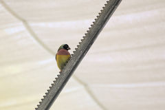 Colorful gouldian finch (Erythrura gouldiae) sitting on metal device Stock Image
