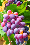 Ripened Grape Royalty Free Stock Image