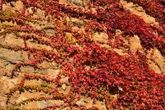 Colorful grape ivy in fall on an old stone wall Stock Photos