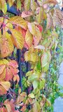 Colorful grape leaves stock images
