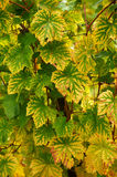 Colorful grape leaves in autumn Royalty Free Stock Photo