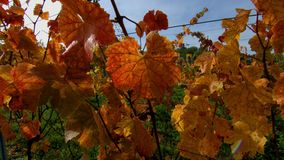 Colorful grape leaves on the sun, season concept, stock video footage