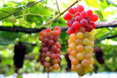 Colorful  grapes Royalty Free Stock Photography