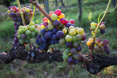Colorful grapes Royalty Free Stock Image