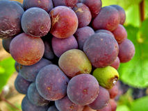 Colorful grapes on vine. Macro view of colorful red or purple bunch of grapes on vine with leafy green background Royalty Free Stock Images
