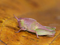 Colorful Grasshopper on Dried Leaf Royalty Free Stock Images