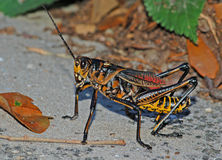 Colorful Grasshopper. Photograph of a large Lubber Grasshopper Royalty Free Stock Image