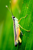 Colorful grasshopper. Royalty Free Stock Photo