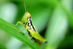 Colorful grasshopper. Royalty Free Stock Photos