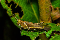 Colorful Grasshopper climbing over green leafs, in Cuyabeno National Park, in Ecuador Stock Image
