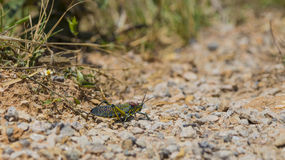 Colorful grasshopper on the ground Stock Photos