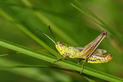Colorful grasshopper portrait royalty free stock images
