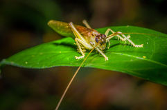 Colorful Grasshopper sitting over green leafs, in Cuyabeno National Park, in Ecuador Royalty Free Stock Photo
