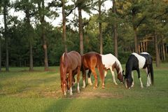 Colorful Grazers. Four horses in pasture grazing. Late afternoon light Stock Images