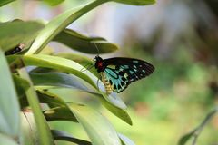 Colorful greed black yellow butterfly sitting on a green leaf. Blue green black yellow butterfly sitting on green leaf nature royalty free stock image