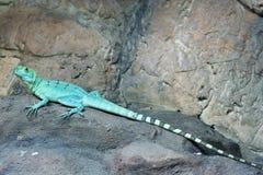Colorful green basilisk lizard Stock Images