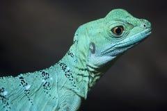 Colorful green basilisk lizard Stock Photos
